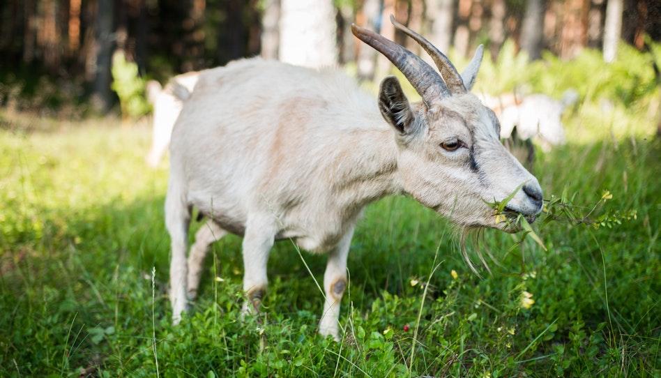козел на лугу